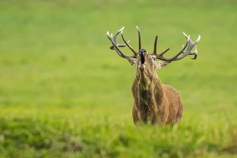 Fotografovanie jelenej ruje v obore