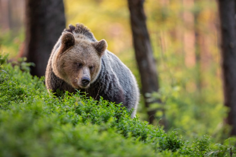 medveď hnedý, The brown bear (Ursus arctos)