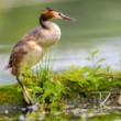 Potápka chochlatá, The great crested grebe (Podiceps cristatus)